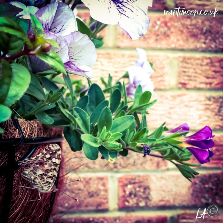 Photo of the week. Hanging basket with purple and white flowers set against a brick wall with a moth perched on the side of the basket.
