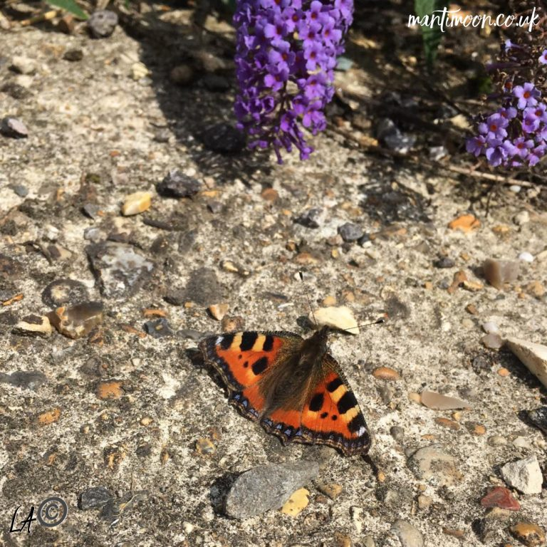 Photo of the week: red admiral resting by a purple flowered plant.