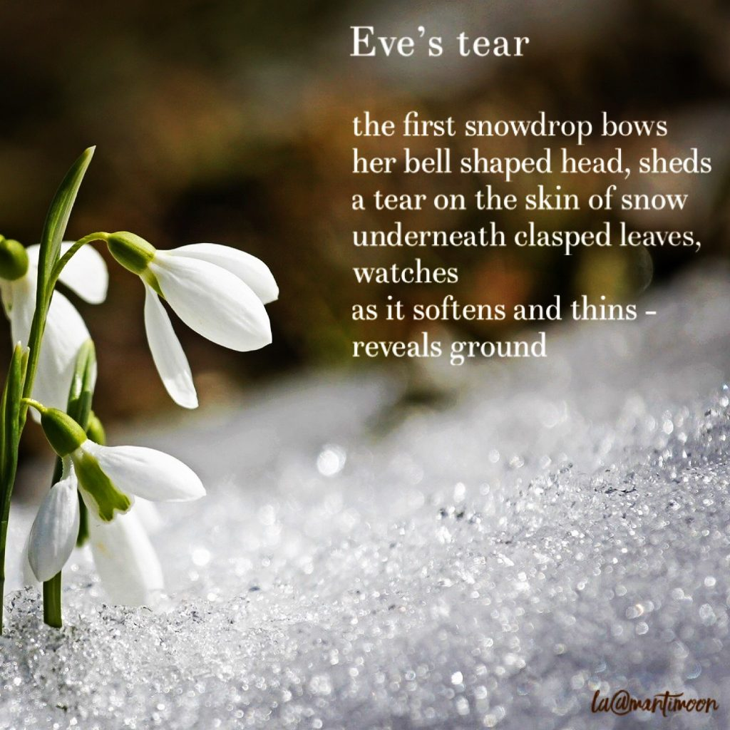 The Weekly Challenge: Picture of snowdrops pushing out of the snow with a poem about snowdrops, also known as Eve's tear.